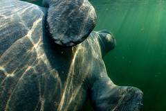 (Fifinator) Tags: manatee rolling over belly rub stomach hands flippers flip elephant foot nails up close happy cuddly cuddling from side below light rays murky underwater canon sl2 florida springs three sisters homosassa sea cow