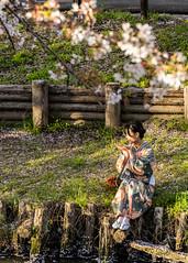 Petals (yasky0786) Tags: lower cherry blossom kawagoe river