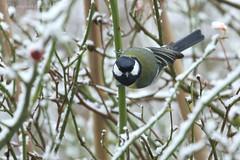 great tit (photos4dreams) Tags: photos4dreams photos4dreamz p4d vogelhaus vogel bird birdy meise birdhome herbst mysecretgarden vögel kohlmeise snow schnee esschneit snowing greattit winter