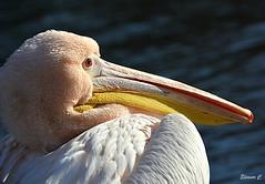 Pelican Portrait (Eleanor (No multiple invites please)) Tags: bird pelican portrait stjamesspark london nikond7100 january2019 coth coth5
