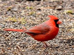 Cardinal, Cardinalis cardinalis, Male (3) (Herman Giethoorn) Tags: cardinal red bird