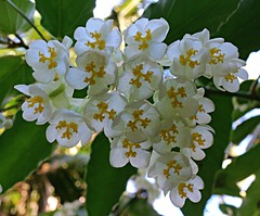 Flowers in the rainforest... (Anni - with camera) Tags: flowers mttamborine sequeensland white yellow green begonia