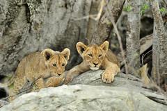 Lion Cubs on the rocks! (Rob Keulemans) Tags: 2018 krugernationalpark lioncubs rocks wild