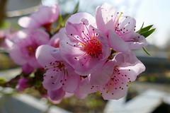Zwergpfirsich 'Bonanza' (ivlys) Tags: deutschland allemagne germany hessen hesse darmstadt theaterpark zwergpfirsich pfirsichblüte peachblossom blüte blossom frühling spring natur nature ivlys