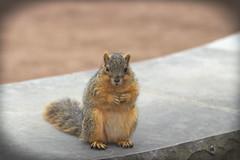 Squirrel, Morton Arboretum. 446 (EOS) (Mega-Magpie) Tags: canon eos 60d nature wildlife outdoors squirrel cute the morton arboretum lisle dupage il illinois usa america