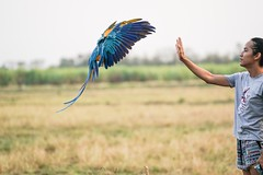 landing 4 (Aung@) Tags: macaw parrot flying landing hand continuos sony alpha a9 fe 70200 f4 lens thailand aungkw