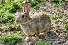 Rabbit (sumowesley) Tags: fauna mammal nature oldmoor rabbit