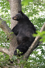 Fear The Unknown (Megan Lorenz) Tags: blackbear bear sow female animal mammal lippy nature wildlife wild wildanimals ontario canada mlorenz meganlorenz