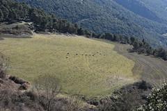 Unas ovejitas (esta_ahi) Tags: montseny collformic osona barcelona spain españa испания ramat rebaño ovelles ovejas ovis orientalis aries ovisorientalisaries bovidae ganadería animales fauna