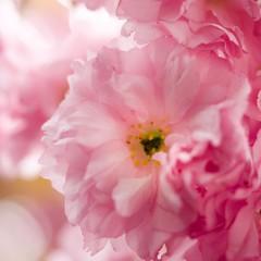 pink clouds (m_big_b) Tags: blossom pink flower pastel macromondays