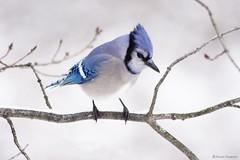 Blue Jay (Anne Ahearne) Tags: wild bird animal nature wildlife songbird birdwatching beautiful winter snow bluejay