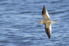 Redshank in flight (Kentish Plumber) Tags: approved