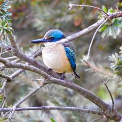 Sacred kingfisher, Jerrabomberra Wetlands (Mark Tindale) Tags: wetlands jerrabomberra australia canberra kingfisher bird sacredkingfisher