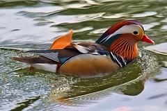 Pato mandarim - Mandarin duck - Aix galericulata (rio.alva) Tags: portugal caldasdarainha ave bird birdwatching nature natureza wildlife nikon200500mmf56eedvr nikond750