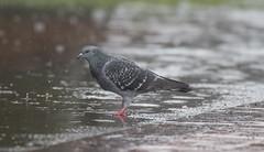Caught in the rain (woodwindfarm) Tags: pigeon rain wet sundaylights