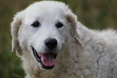 Levi   my  Friend with  a  smile  for  you (excellentzebu1050) Tags: pet dog doggy animalportraits animal farm farmdog coth5 sunrays5