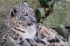 Snow Leopard at Rest (Ron Buening) Tags: cincinnati ohio cat bigcat snow leopard snowleopard zoo rest