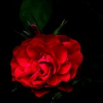 Stratford Ontario ~ Canada ~ Red  Peonies  ~ Botanical Garden thumbnail