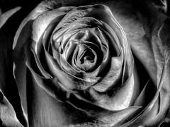 Rolled Tightly (Robert Cowlishaw (Mertonian)) Tags: deeply depth black bw blossom rose beauty beautiful wonder awe ineffable canonpowershotsx70hs sx70hs powershot canon robertcowlishaw 4u mertonian