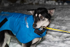 _ROS3430.jpg (Roshine Photography) Tags: dogs yukonquest dawson winter dogyard 36hourrestart huskies environmental yukonterritory snow dawsoncity yukon canada ca
