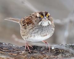 White-throated Sparrow - Zonotrichia albicollis (Nic.Allen.Birder) Tags: bird parkville backyard platte missouri whitethroated sparrow zonotrichia albicollis detail outdoor wildlife nature