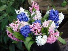 February Flowers : Hyacinths (swetlanahasenjäger) Tags: februaryflowershoroscope natureinfocusgroup hyacinths floralstilllife coth fotografíavisión coth5