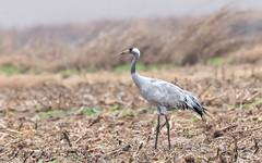 Common Crane (tickspics ) Tags: cranes birds madrigalejoricefields spain europe extremadura commoncrane eurasiancrane gruidae grusgrus