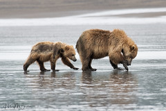 _HB31778 (Hilary Bralove) Tags: lakeclarknationalparkbrownbearsbearsalaskanikonwildlifegrizzlygrizzlybearbrownbearanimalswildlifephotographer alaksa brownbears grizzlybears bear bears grizzly brownbeargrizzly bearlake clarkwildlifealaska wildlifenikonlake clark national park