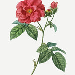 French rose (Rosa gallica) illustration from Traité des Arbres thumbnail