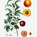 1. Black apricot with leaves 2. Apricot from Holland illustratio