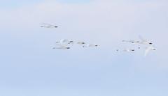 Swans (snooker2009) Tags: birds swans flight nature wildlife migration tundra waterfowl