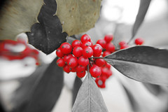 Only The Red. (dccradio) Tags: lumberton nc northcarolina robesoncounty outdoor outdoors outside berry berries redberry redberries leaf leaves colorful nature natural holly fostersholly plant foliage greenery nikon d40 dslr march spring springtime sunday sundayafternoon goodafternoon afternoon bokeh
