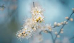 Blackthorn blossom (Dhina A) Tags: sony a7rii ilce7rm2 a7r2 a7r samyang 135mm f20 f2 samyang135mmf20 bokeh bokehlicious smooth soft creamy manualfocus blackthorn blossom spring