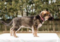 2019-03-02, Mel x Dezi Pink Female-6 (Falon167) Tags: gsd germanshepherddog german shepherd dog puppy mel dezi melxdezi litter bessie puppies
