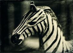 Zebra (Blurmageddon) Tags: largeformat wetplatecollodion alternativeprocess newguycollodion osaka120mmf63 senecaimprovedview 5x7 epsonv700 johncofferdeveloper alumitype tintype zebra