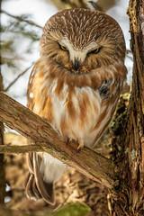 Saw-whet  owls-139.jpg (dwb838) Tags: sawwhetowl amherstisland ngc