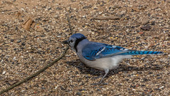 _DSC0243 (johnjmurphyiii) Tags: 06416 birds connecticut cromwell originalnef shelly tamron18400 usa wildlife winter yard johnjmurphyiii