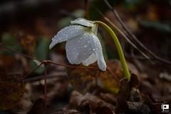 Dream of spring (Ivica Pavičić) Tags: macrophotography macro flower hellebore spring dropsonflower nature signsofspring macrodreams žumberak croatia