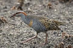 buff-banded rail (Gallirallus philippensis) (johnedmond) Tags: perth westernaustralia herdsmanlake buff banded rail bird wildlife nature eos7d ef100400mmf4556lisiiusm canon