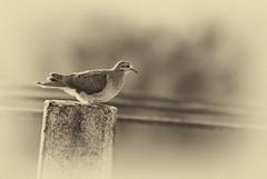 DSC_5751'_Paloma en B&W_ Focal Point (Alicia (AF-FM)) Tags: bw bn paloma aves retrato focalpoint vintage