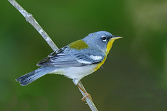 Northern Parula (Alan Gutsell) Tags: northernparula northern parula warbler songbird texas texasbirds birdsoftexas birds alan nature wildlife photo photography canon bird birding wetlands migration