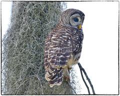 Barred Owl (RKop) Tags: circlebpreserve florida raphaelkopanphotography d500 600mmf4evr 14xtciii nikon