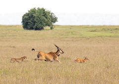Cheetah chase (Photobirder) Tags: cheetahchase eland masaimara kenya eastafrica