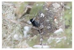 Pic à dos noir (Nolwenn Trvdc) Tags: bird nature wild canada montréal foret montroyal picoides arcticus