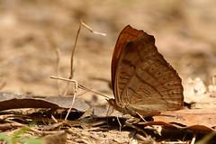 Pseudergolis wedah ssp. wedah - Chiang Dao_20180205_1157_DSC_8239_DxO (I love comments but delete awards - Jan F. Rasmuss) Tags: pseudergolis wedah pseudergoliswedah thailand d800 butterfly butterflies macro closeup insecta lepidoptera rhopalocera nikon janfischerrasmussen janfrasmussen asia southeastasia chiangmai chiangmaiprovince chiangdao nymphalidae nymphalid nymphalids cyrestinae