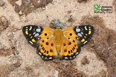The Tricolor Pied Flat - ผีเสื้อลายด่างสามสีani (Antonio Giudici Butterfly Trips) Tags: thetricolorpiedflat ผีเสื้อลายด่างสามสี hesperiinae pyrginae coladeniaindraniuposathra srilannanationalpark chiangmai thailand