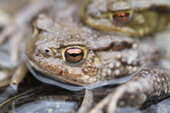 Bufo bufo. (ChristianMoss) Tags: common toad bufo amphibian amplexus