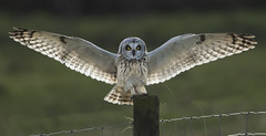 Last pic of the season - Adios my friend (Ann and Chris) Tags: amazing awesome adorable owl beautiful close eyes landing impressive incoming looking stunning shortearedowl wildlife wild wings