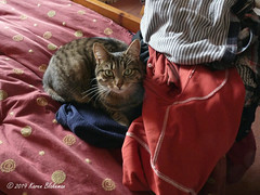April 3rd, 2019 Willow Meow Mau's new preferred sleeping place (karenblakeman) Tags: cat tabby willowmeowmau laundry clothes bed april 2019 2019pad uk