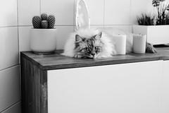 Sharol (you feel me) Tags: cat feline pet animal fluffy blackandwhite blancoynegro biancoenero noiretblanc schwarzweis runkewitz dresden eyes cateyes